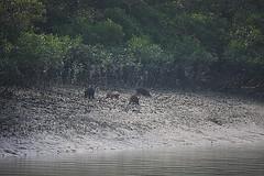 Wild Boars, Sundarban (Samir D) Tags: wild india river four eos asia delta jungle bengal boar canning bangla westbengal wildboar sundarban 40d 55250 jharkhali incrediblebengal samird