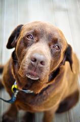 Manu (Stacey Price (Roxy_77)) Tags: dog puppy labrador manu chocolatelabrador dogportrait labradordog staceyprice roxy77