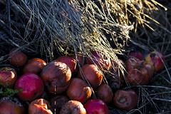Entre ombre et lumire (jrmilie) Tags: en fruits jardin pommes decomposition printemps legumes paille fouin