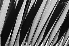 Lineas (Malia Len ) Tags: naturaleza rayas nature lines backlight canon contraluz grey lights luces shadows natural malia abstracto palmera sombras lineas grises escala abstratc malialeon