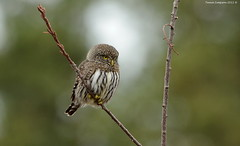 Northern Pygmy-Owl (Glaucidium gnoma) (Photography Through Tania's Eyes) Tags: canada tree bird nature animal fauna photography photo bill wings flora nikon photographer bc image britishcolumbia okanagan wildlife branches feathers photograph owl birdofprey okanaganvalley peachland northernpygmyowl glaucidiumgnoma copyrightimage nikond7000 taniasimpson