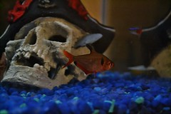 Tetras in the Tank (Backstage VIPs Magazine) Tags: camera new blue fish outdoors photography skull photo nikon rocks tank florida gainesville indoors pirate fl dslr newcamera pirateskull neontetra fishtanks bluerocks redtetra d3100 nikond3100