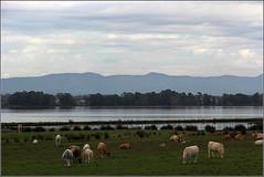 LATINA Il bucolico lago di Fogliano (52picchio) Tags: lago latina 2012 lazio circeo lagodifogliano parconazionaledelcirceo
