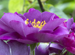 Royal Purple (Hans van der Boom) Tags: flower macro yellow closeup purple stamen buitengewoon