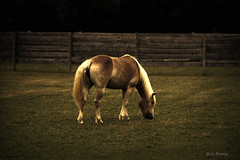 Bettylu (Parris Photography) Tags: horse texture pasture delaware haflinger bettylu blinkagain highqualityanimals