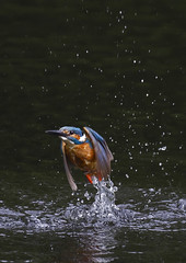 Kingfisher_1015 (Peter Warne-Epping Forest) Tags: