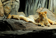 Brother Makes a Good Foot Stool (Eve'sNature) Tags: cats nature animals wildlife milwaukee lions felines