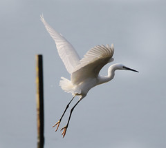Little egret (Alchimi) Tags: wild bird animal flight llanelli egret wwt penclacwydd nationalwetlandcentre