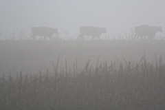 Cows and Fog Photo (CodyErvin) Tags: sun fall weather animal animals fog cow photo december cows farm ominous foggy eerie spooky sunlit dense