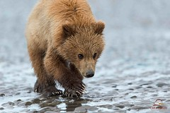 Cautious Approach of Brown Bear Yearling Cub (Glatz Nature Photography) Tags: bear nature alaska wildlife brownbear bearcub ursusarctos grizzlybear cookinlet lakeclarknationalpark highqualityanimals