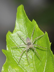 Fishing Spider 5361 (Malcolm NQ) Tags: grey spider queensland townsville fishingspider pisauridae waterspider geo:country=australia arananeomorphae