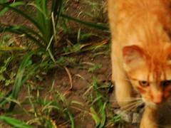 Laranjinha (Guerra06) Tags: cat orangecat gato laranjinha