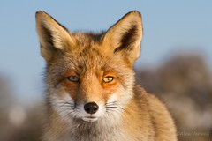 winter coat Fox (Alex Verweij) Tags: winter red wild eye nature face canon nose eyes coat natuur ears wintercoat fox 7d ear ogen facetoface portret oren oog vos neus 70200mm redfox oor reinier snorharen vacht natteneus alexverweij wintervacht mygearandme redreinier winetrcoat