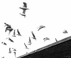 up on the roof (greg g49) Tags: bristol fuji gulls x100 drifters dovells mommadontallownostompingaroundhere