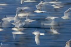 Allegro non troppo (_milo_) Tags: italy birds canon eos italia blu uccelli tamron panning lagomaggiore verbano 70300 angera 60d mossocontrollato