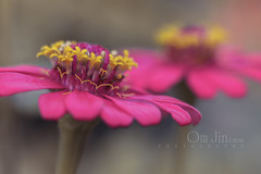 .:: The Twins ::. (omjinphotography) Tags: zinniaperuviana asteraceaefamily bungamatahariliar wildflowers flower pink blooming petals pistil stamens nature garden closeup macro photoart plant tropic plasticlens 50mmlens extensiontube canon1100d rebelt3 omjinphotography wildplant flora outdoor therulesofthird