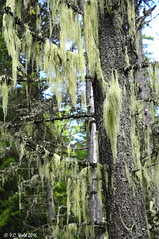 Old man's beard lichen, trail to John's Lake, Glacier National Park (V. C. Wald) Tags: glaciernationalpark oldmansbeard lichen usnea