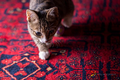Cat Walking (grobler.inus) Tags: red pet playing cute animal cat fur carpet photography kitten feline irene lint playful fotoinusgrobler