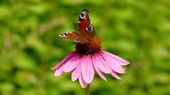 Pevapaabusilm punasel pevakbaral (Tarmo Gede) Tags: pevapaabusilm europeanpeacock aglaisio purpleconeflower echinaceapurpurea punane siilkbar pevakbar