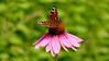 Päevapaabusilm punasel päevakübaral (Tarmo Gede) Tags: päevapaabusilm europeanpeacock aglaisio purpleconeflower echinaceapurpurea punane siilkübar päevakübar
