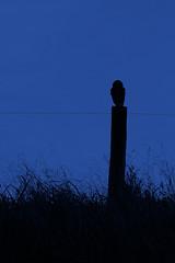 _DSF8979 (jeduardofn ~ Brasil) Tags: estaotanquinho estaodetrem campinas coruja owl