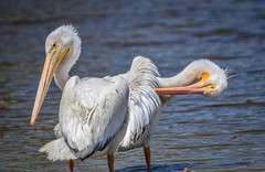 Miller Knox~~Am. White Pelican  07/16/2016 (CatsMan2) Tags: americanwhitepelican millerican bird richmond calif millerknox california whitepelican