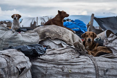 Junk Toys (elweydelasfotos) Tags: dogs animals natura garbage sky clouds conceptual street mexico sad hardcore care love amor trash nikon d810 basura perros abandono nubes cielo kids toys puppy documentary documental social