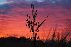 Interloper (nancy II) Tags: sunset specatcular sky pink red orange evening silhouette august scotland milnathort 2016 summer summerwatch oats wheat
