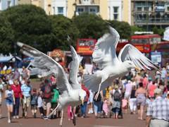 Llandudno's Herring Gulls (kitmasterbloke) Tags: herringgull bird avian nature llandudno wales outdoor