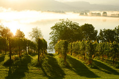 foggy summer morning (balu51) Tags: morgenspaziergang morgen frh sonnenaufgang nebel bodennebel landschaft see weinreben weinberg sptsommer 60mm morning morningwalk early foggy latesummermorning latesummer sunrise landscape lake green golden cream switzerland august 2016 copyrightbybalu51