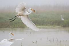 Egrets Fish (overthemoon3) Tags: fishing egrets fish hunt birds wildlife nature wildlifephotographer minnesota marsh wetlands backwatersofthemississippi