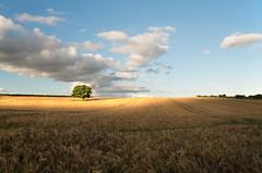 Showtime (Glenn D Reay) Tags: tree field barley goldenhour golden harvest clouds solitary warm pentaxart pentax k30 sigma1770hsm hoyapolariser glennreay