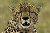 Male cheetah at rest (quiinc) Tags: africa kenya safari masaimara cheetah