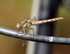 014 Common darter (saxonfenken) Tags: 6944insect 6944 insect commondarter wings dof pregamewinner