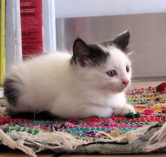 baby Delores (CatnessGrace) Tags: cats kittens