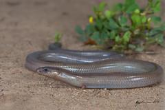 Two-clawed Worm-skink (R. Francis) Tags: twoclawedwormskink anomalopusleuckartii grosmont brigalowbelt qld queensland ryanfrancis ryanfrancisphotography
