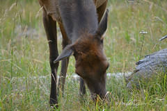 Nature's Gift (RootsRunDeep) Tags: wildlife elk young nature wyoming mountains