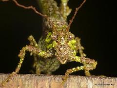 Paraphidnia sp. (Ecuador Megadiverso) Tags: book camouflage flickr grasshopper imitatinglichencoveredtwig katydid lichenkatydid loscedros orthoptera paraphidniasp phaneropterinae tettigoniidae andreaskay ecuador