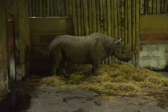 Chester Zoo (229) (rs1979) Tags: chesterzoo zoo chester blackrhino rhino