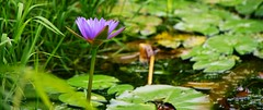 Water Lily. (Jukai The Pilgrim) Tags: nymphaea tetragona lily lotus sony a6000 ilce6000 selp18105g world wild water tai po kau reserve country hongkong outdoor sunlight summer colors forest peaceful plants nature landscape national naturaleza flowers flora flower green light hiking lake leisure cinematic river