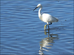 little egret (Philip Percival) Tags: leigton moss