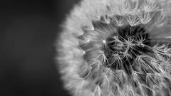 white (schneider-lein) Tags: dandelion lwenzahn pusteblume blume flower tropfen drops droplets macro makro bokeh bokina tokina tokinaatx9025macro mf manual manualfocus manuell manuellerfokus sony alpha7ii a7ii ilce7m2 white mono monochrom black blackwhite