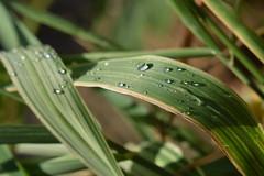 Water Garden 3 (Implexus and Immodestia) Tags: water garden macro leaf droplet