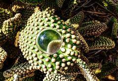 magnified nature ~ natureza ampliada (Rodrigo Uriartt) Tags: magnified nature natureza ampliada crystalball crystal ball macro macrophotography closeup cactus israel fujifilm xpro1