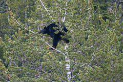 Crazy Bear In Tree 2224 (casch52) Tags: bear tree mammal animal wildlife wild nature fur cute ursus climb brown climbing cub looking big omnivore predator beautiful young fauna watching black face captive arctos forest life background portrait ursusarctos animalia nose carnivore danger dangerous joy closeup feeding eye family claws relaxing canada nordic sweet furry paw woods outdoors crazy 400mm canon f4 dois sapling antics fun