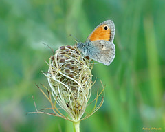 Ninfa minore (Darea62) Tags: coenonymphapamphilus butterfly ninfa small heath wings flower insect animal slta77