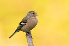 Chaffinch (m) (Gary McHale) Tags: chaffinch male high batts nature reserve