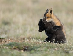 Lean On Me (T0nyJ0yce) Tags: redfox kits siblings family wild animals cute silverfox cub pups foxes adorable cuddling hugging playing sweet babyanimals fox wildlife foxden wildflowers vulpesvulpes