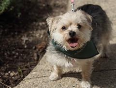 Dog Admission Day, Morton Arboretum. 6 (EOS) (Mega-Magpie) Tags: canon eos 60d outdoors cute puppy dog admission day the morton arboretum lisle dupage usa america