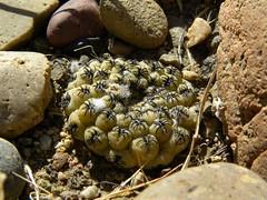 DSCN8698 (Robby's Sukkulentenseite) Tags: atacama cacti cactus chile coquimbo fnrrb2053 for5 huasco ka3370s kakteen kaktus napina rb2053 reise standort thelocephala topxpflanze